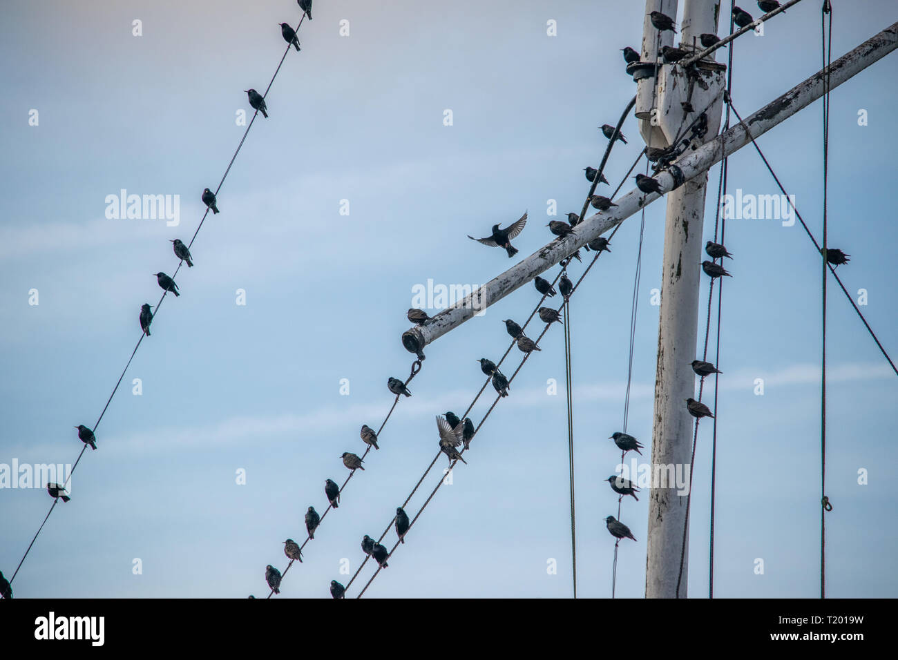 Starlings sitting on Flag pole in Rye Sussex and one is taking off. - Stock Image