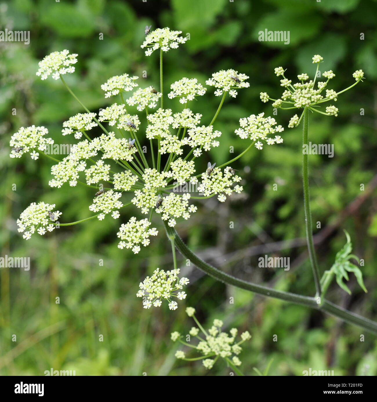 Cow parsley Anthriscus sylvestris flowers Stock Photo