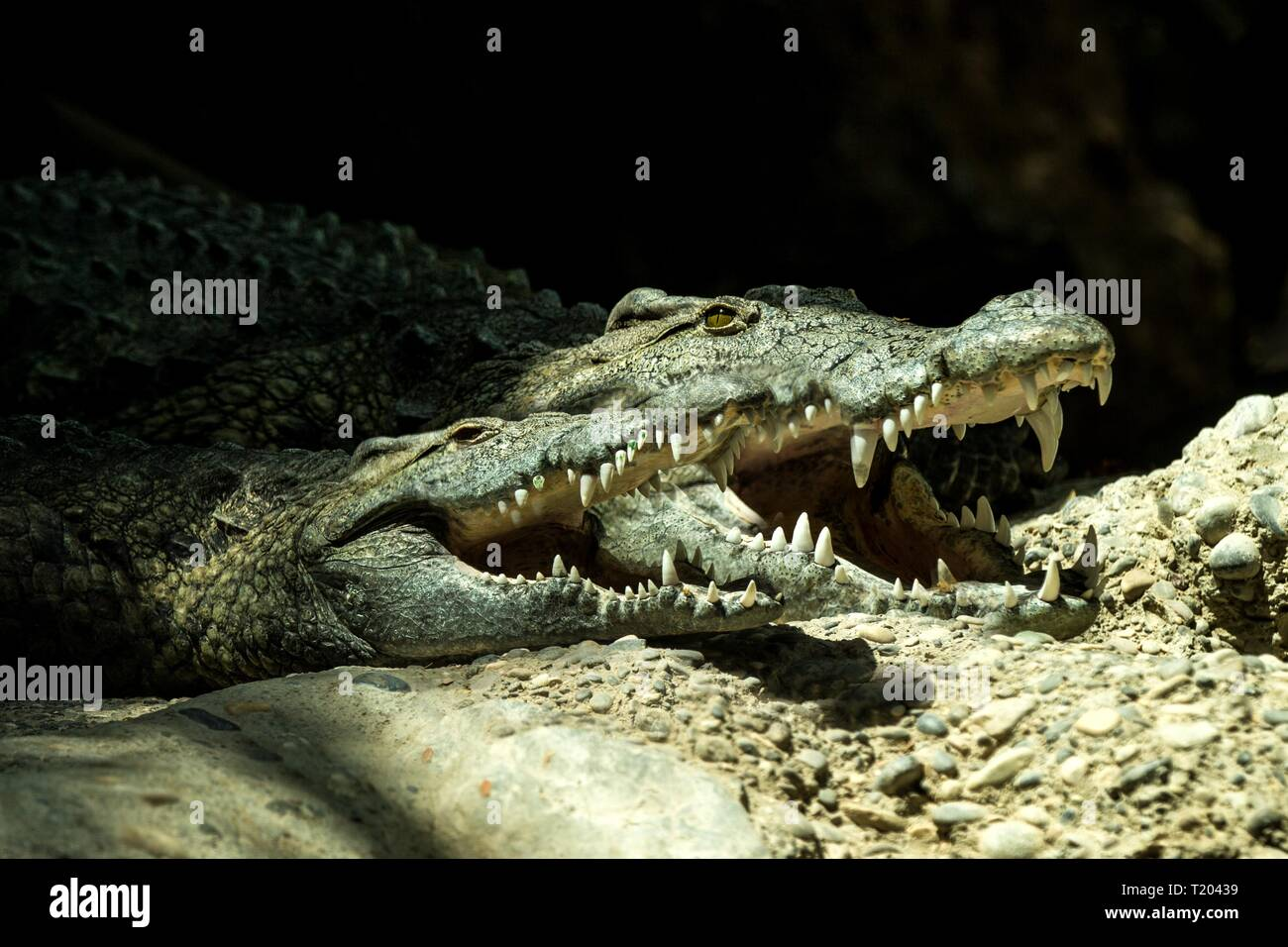 The Nile crocodile (Crocodylus niloticus) is an African crocodile, the largest freshwater predator in Africa, Two Nile crocodiles, lie together. In Ba - Stock Image