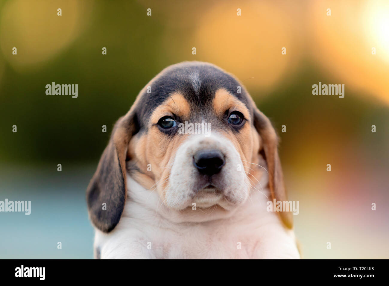 Beautiful Beagle Puppy Brown And Black In The Garden Stock Photo Alamy
