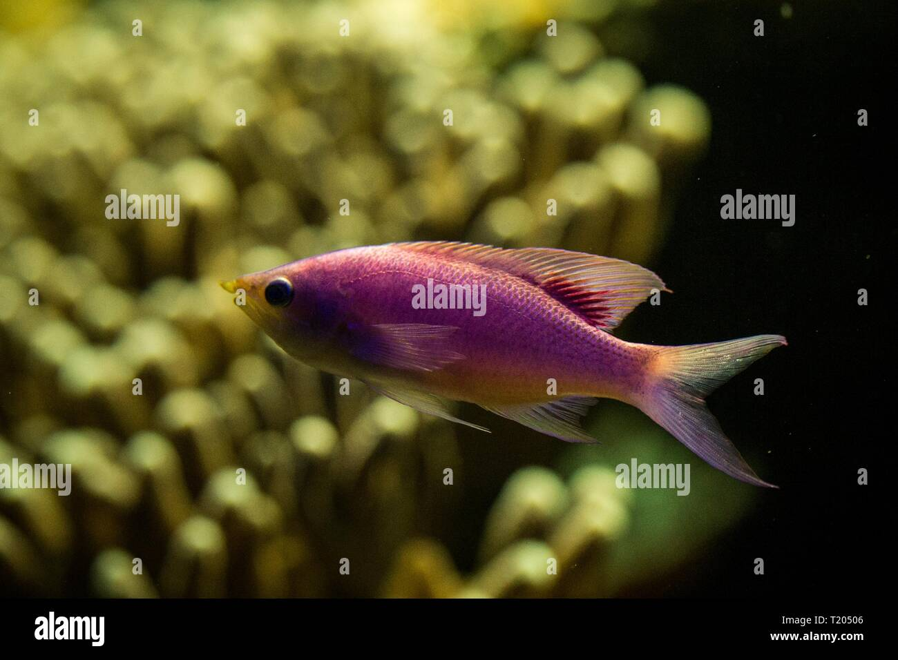 Purple Queen Anthias, Pseudanthias tuka, coral reef fish, Salt water marine fish, beautiful pink and yellow fish with tropical corals in background, a Stock Photo