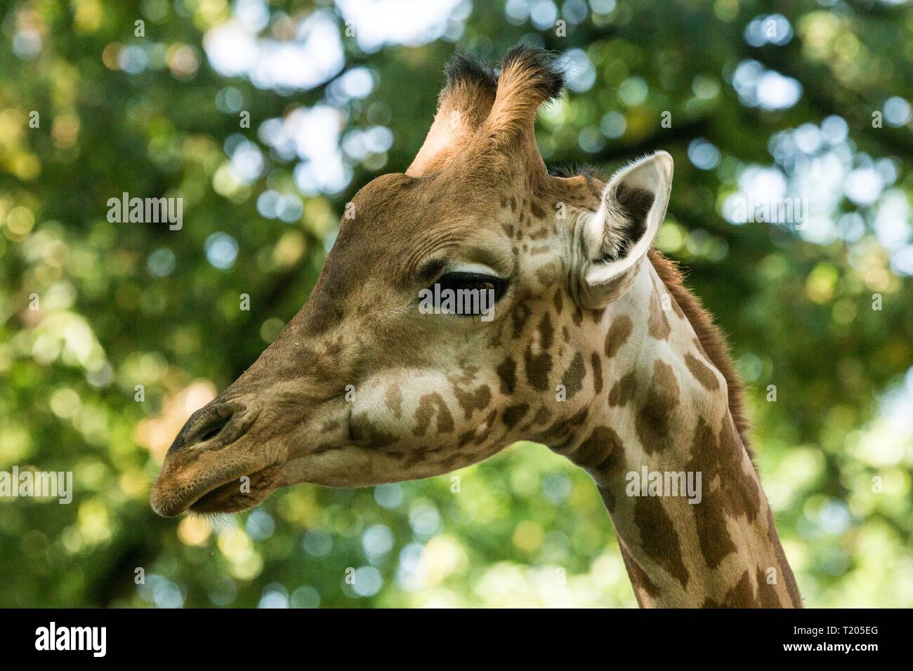 The giraffe (Giraffa camelopardalis), African even-toed ungulate mammal, the tallest of all extant land-living animal species, portrait of beautiful a - Stock Image
