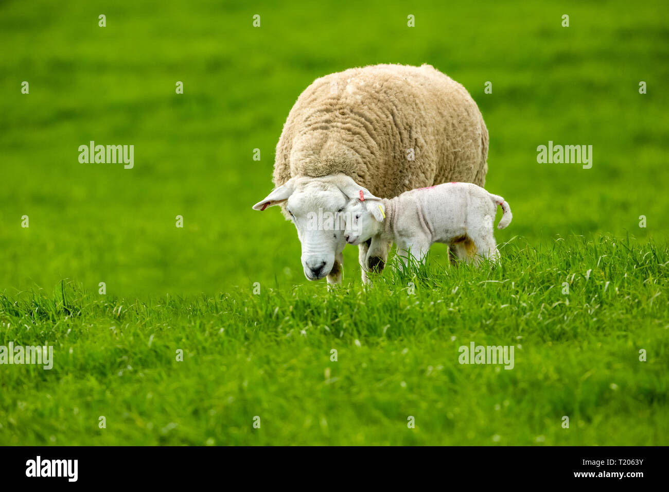 Texel Ewe, female sheep with newborn lamb.  A tender moment between mother and baby lamb in lush green meadow. Landscape, Horizontal. Space for copy - Stock Image