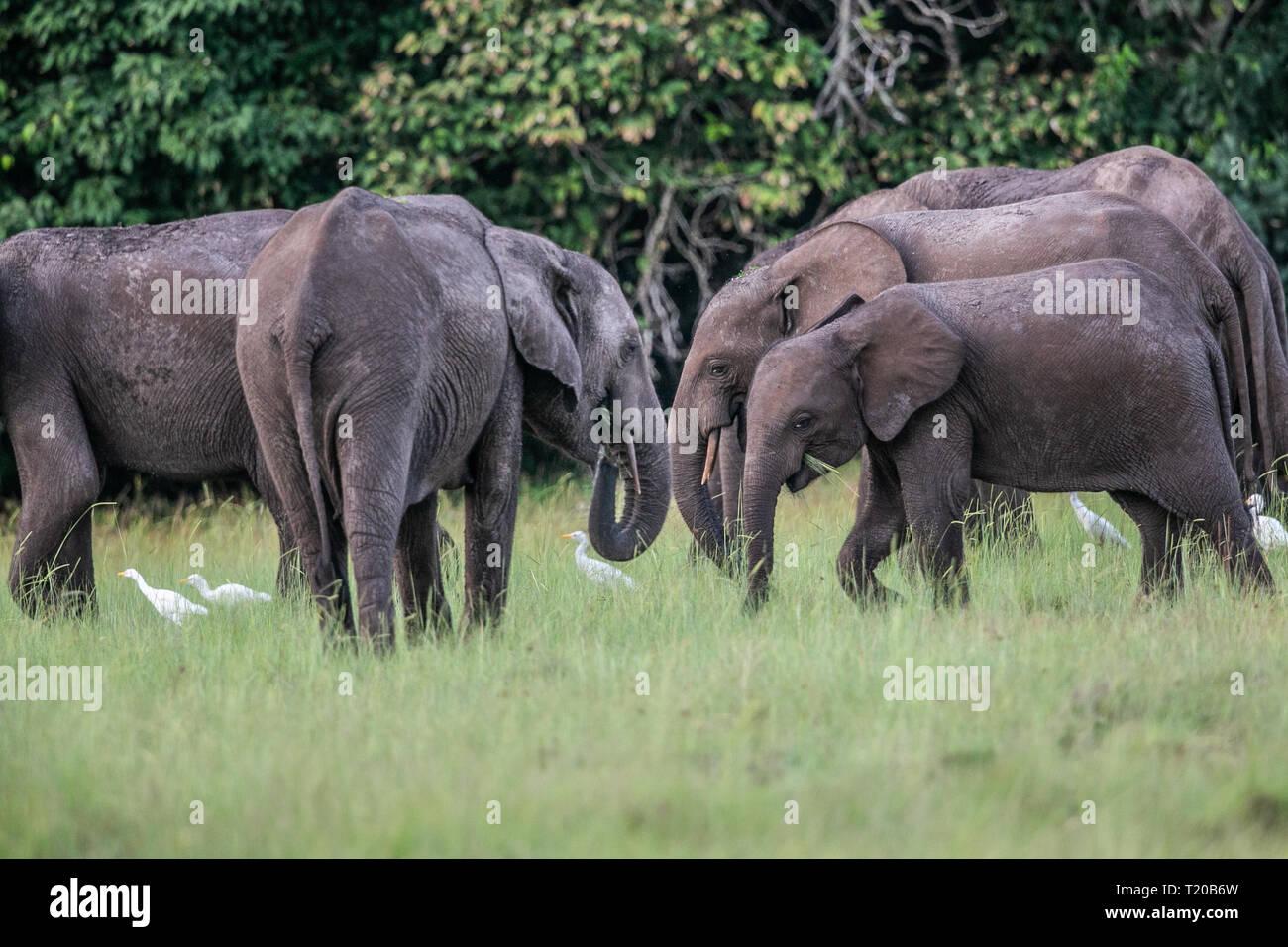 Elephants in Loango National Park, Gabon Stock Photo