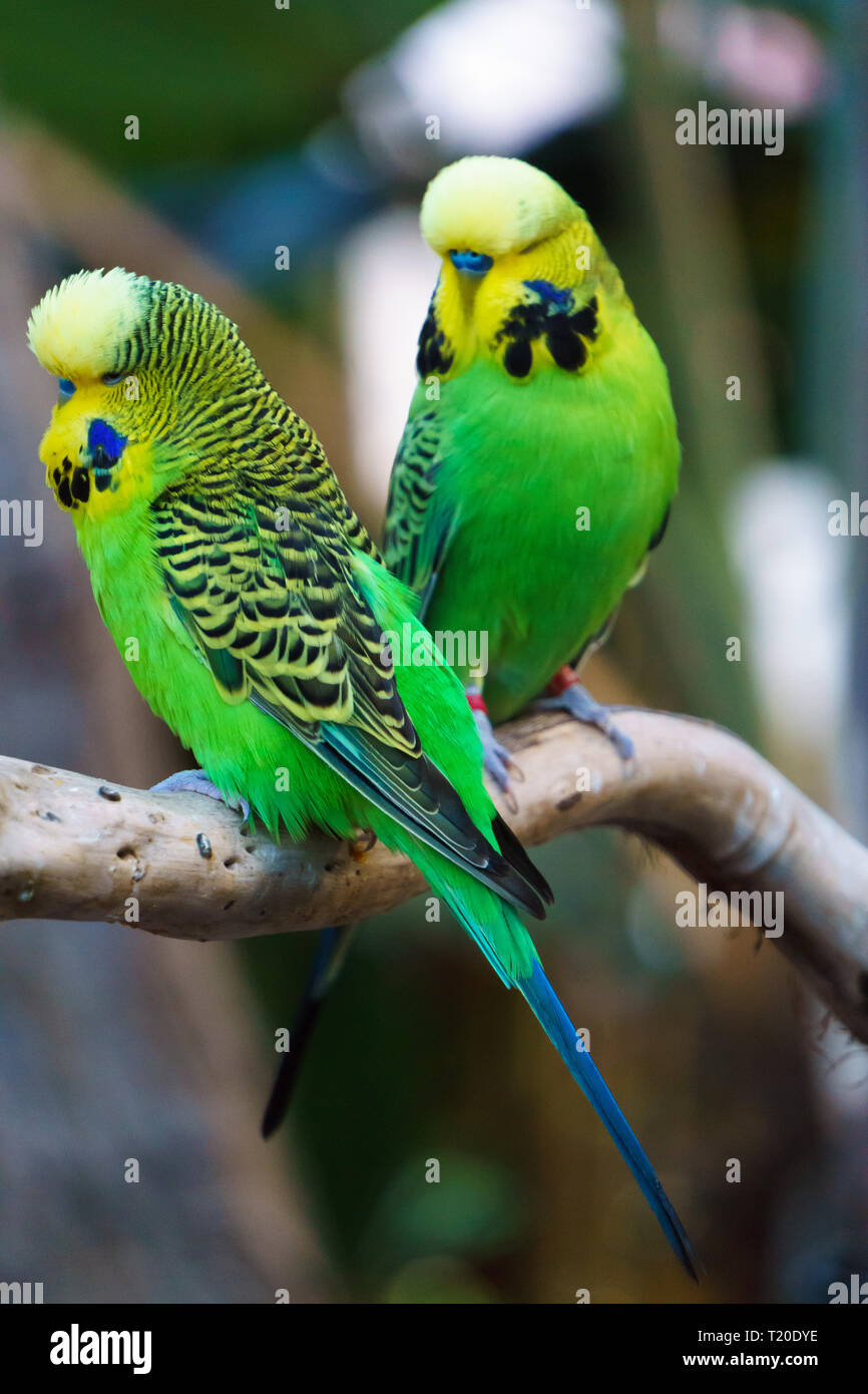 Two Budgerigars parrot birds nicknamed the budgie or the