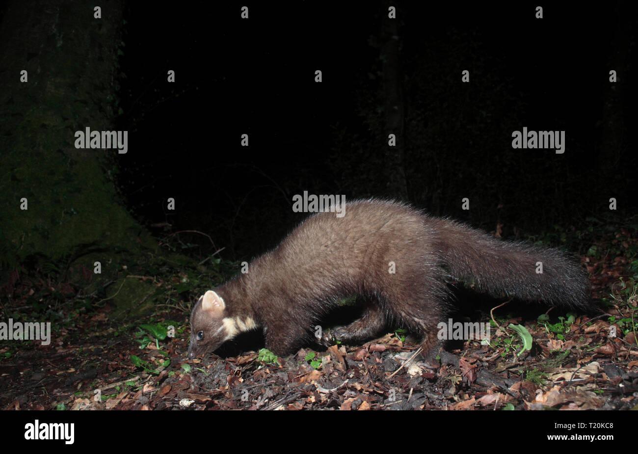 Pine Marten - Stock Image