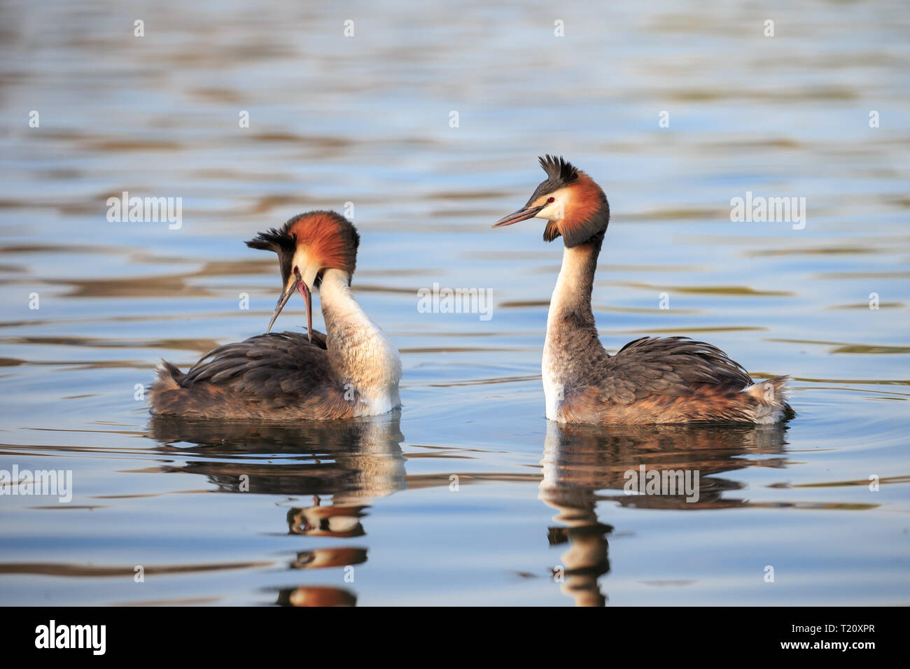 The great crested grebe is a member of the grebe family of water birds noted for its elaborate mating display. - Stock Image