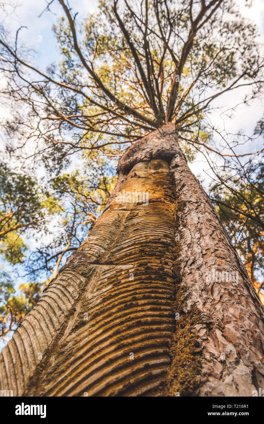 Germany, Mecklenburg-Western Pomerania, Darss, pine tree with incisions for tapping resin - Stock Image