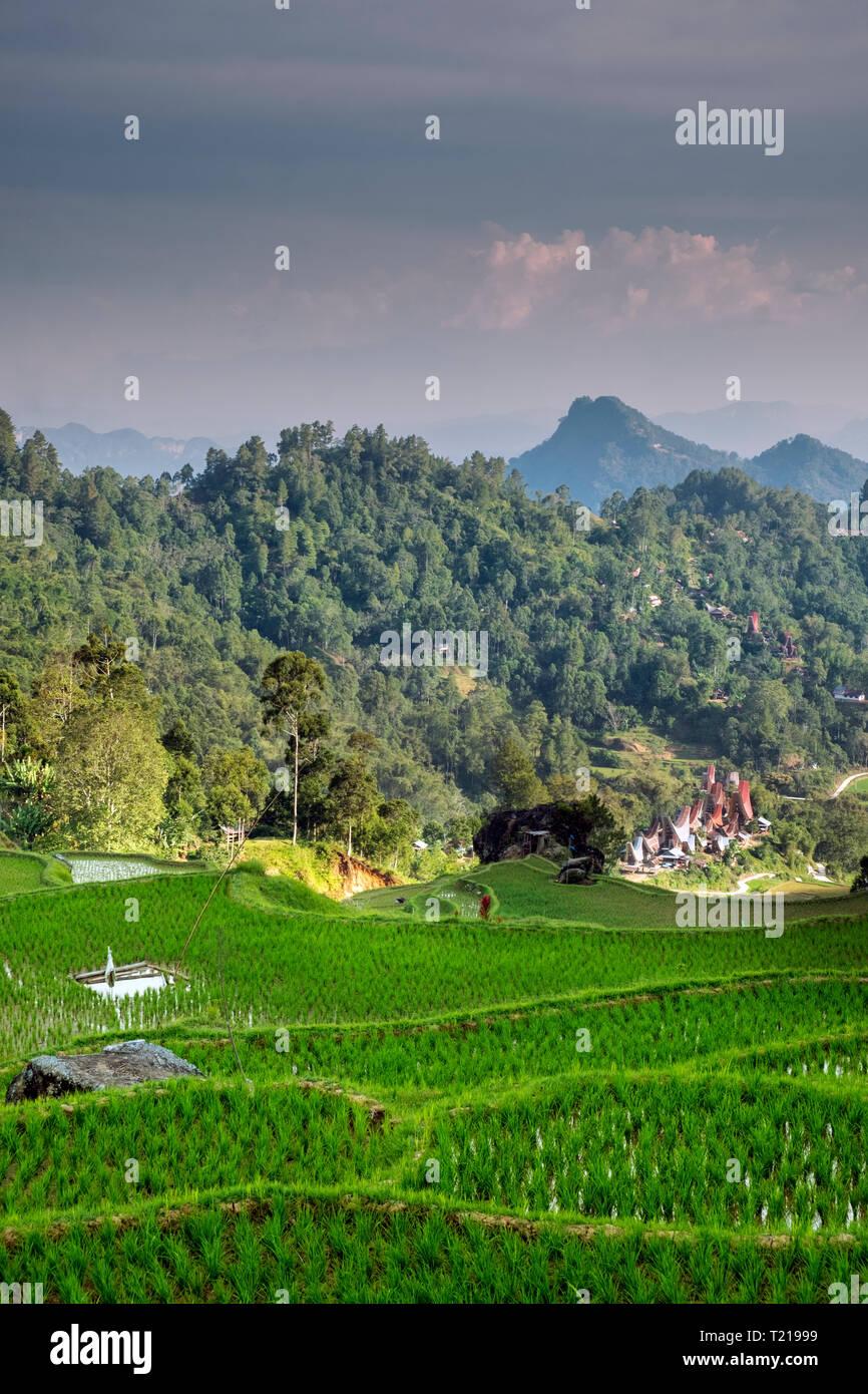 Rice terraces in Toraja, Sulawesi, Indonesia - Stock Image