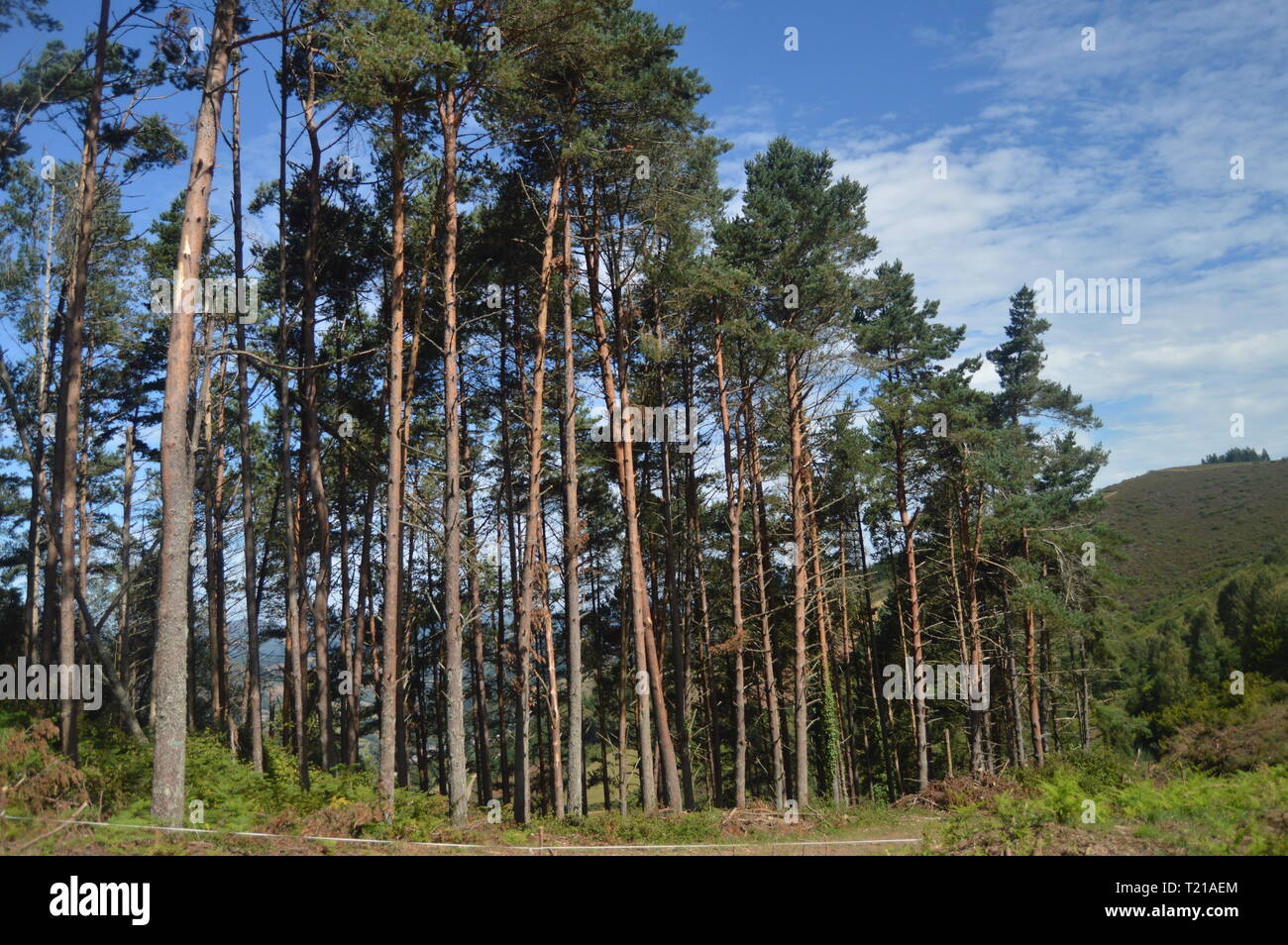 Eucalyptus Forest In The Mountains Of Galicia Delimiting With Asturias In Rebedul. Nature, Architecture, History, Street Photography. August 24, 2014. - Stock Image