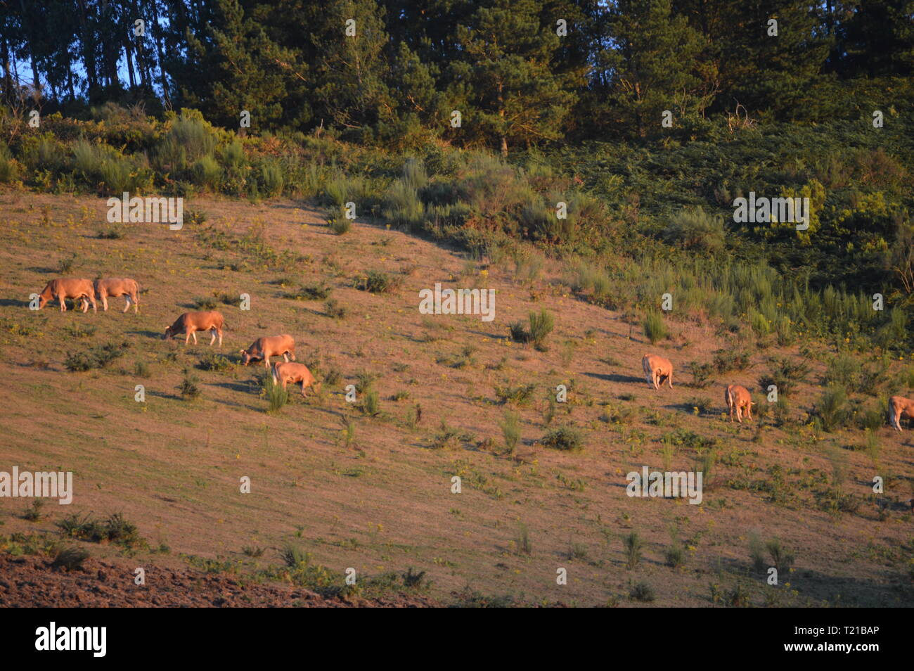 Flock Of Brown Calf Grazing In The Mountains Of Galicia Delimiting With Asturias In Rebedul At Sunset. Nature, Architecture, History, Street Photograp - Stock Image