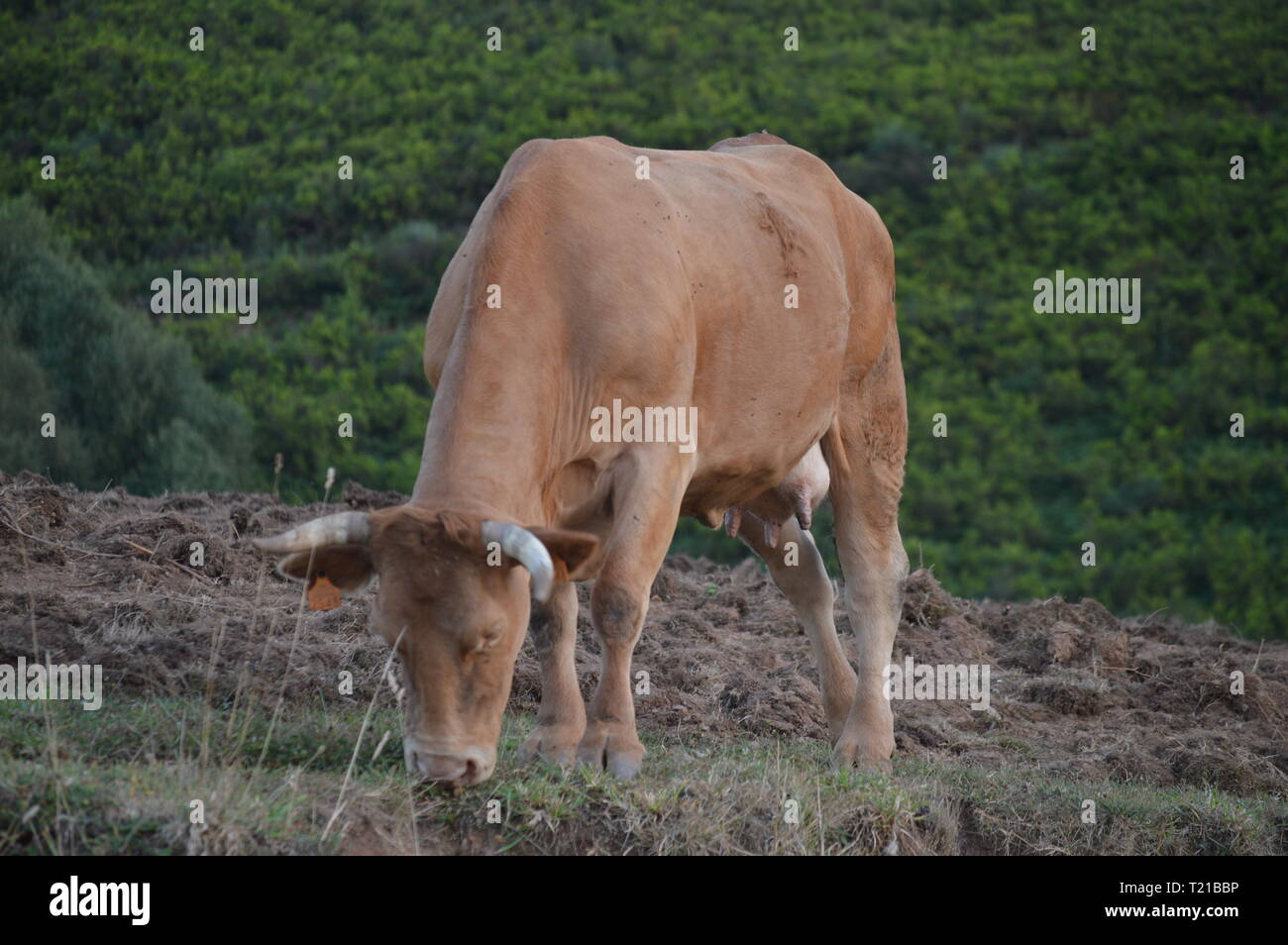 Brown Calf Grazing In The Mountains Of Galicia Delimiting With Asturias In Rebedul. Nature, Architecture, History, Street Photography. August 24, 2014 - Stock Image