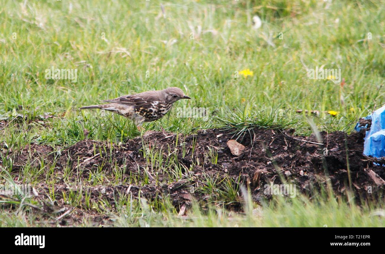 Prestatyn, North Wales, UK. 29th Mar, 2019. A familiar and popular garden songbird whose numbers are declining seriously, especially on farmland making it a Red List species spotted in farmland in North Wales Credit: IAN Fairbrother/Alamy Live News - Stock Image