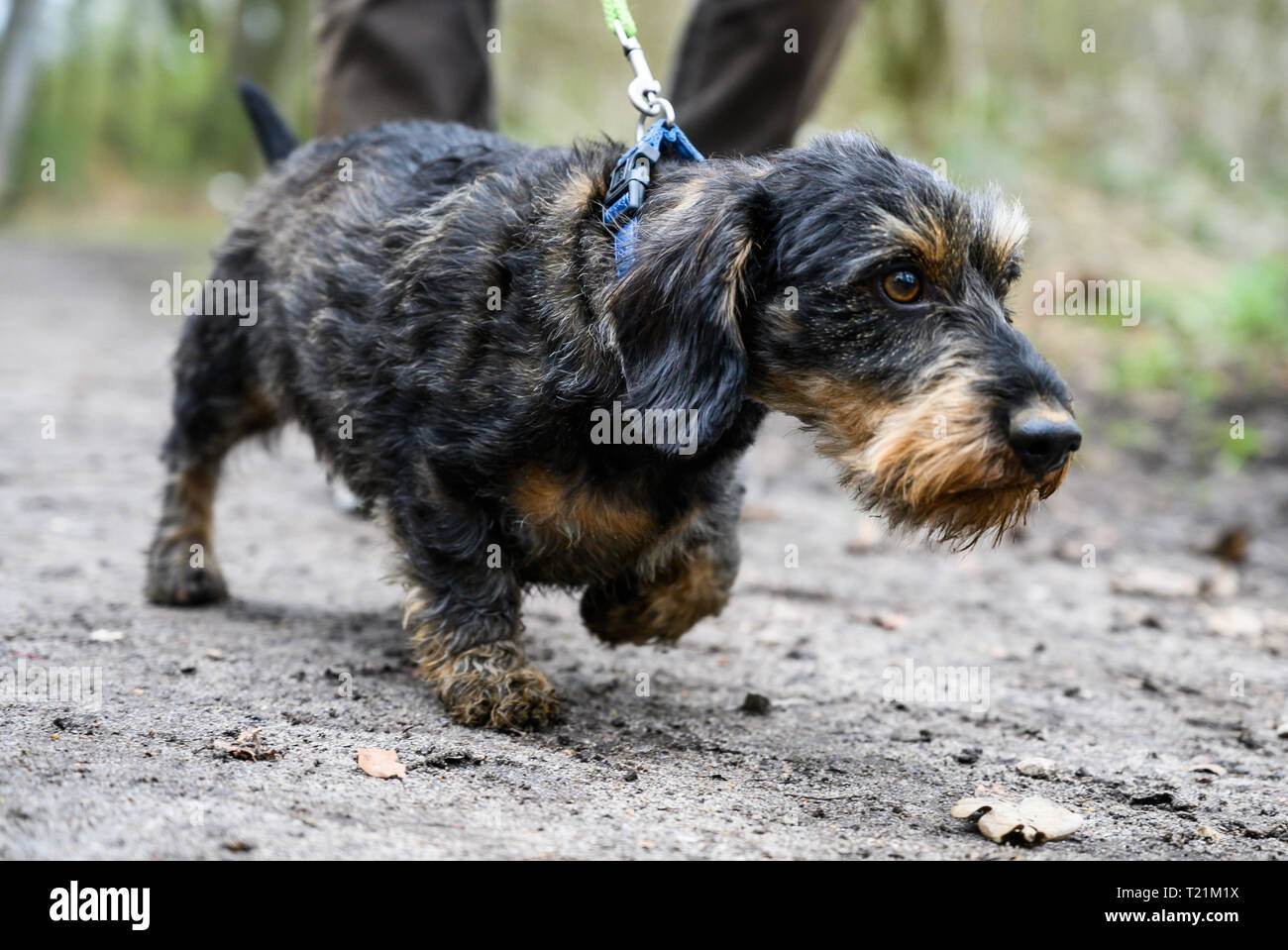 Hannover, Germany. 26th Mar, 2019. A man goes for a walk with his dog Django, a five-year-old rough-haired dachshund. From 01.04.2019 dogs have to be kept on a leash in many places in Lower Saxony. During the so-called brood and Setzzeit, the quadrupeds may not run freely approximately in the forest and on field-paths. Credit: Christophe Gateau/dpa/Alamy Live News - Stock Image