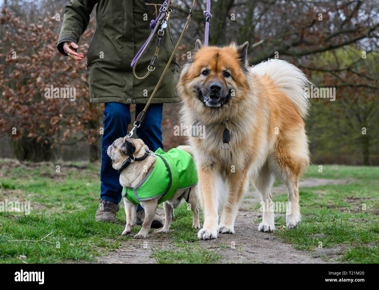 Hannover, Germany. 26th Mar, 2019. A woman goes for a walk with her dogs Caruso (l), 11 year old pug, and Lucio, 9 year old Eurasier. From 01.04.2019 dogs have to be kept on a leash in many places in Lower Saxony. During the so-called brood and Setzzeit, the quadrupeds may not run freely approximately in the forest and on field-paths. Credit: Christophe Gateau/dpa/Alamy Live News - Stock Image