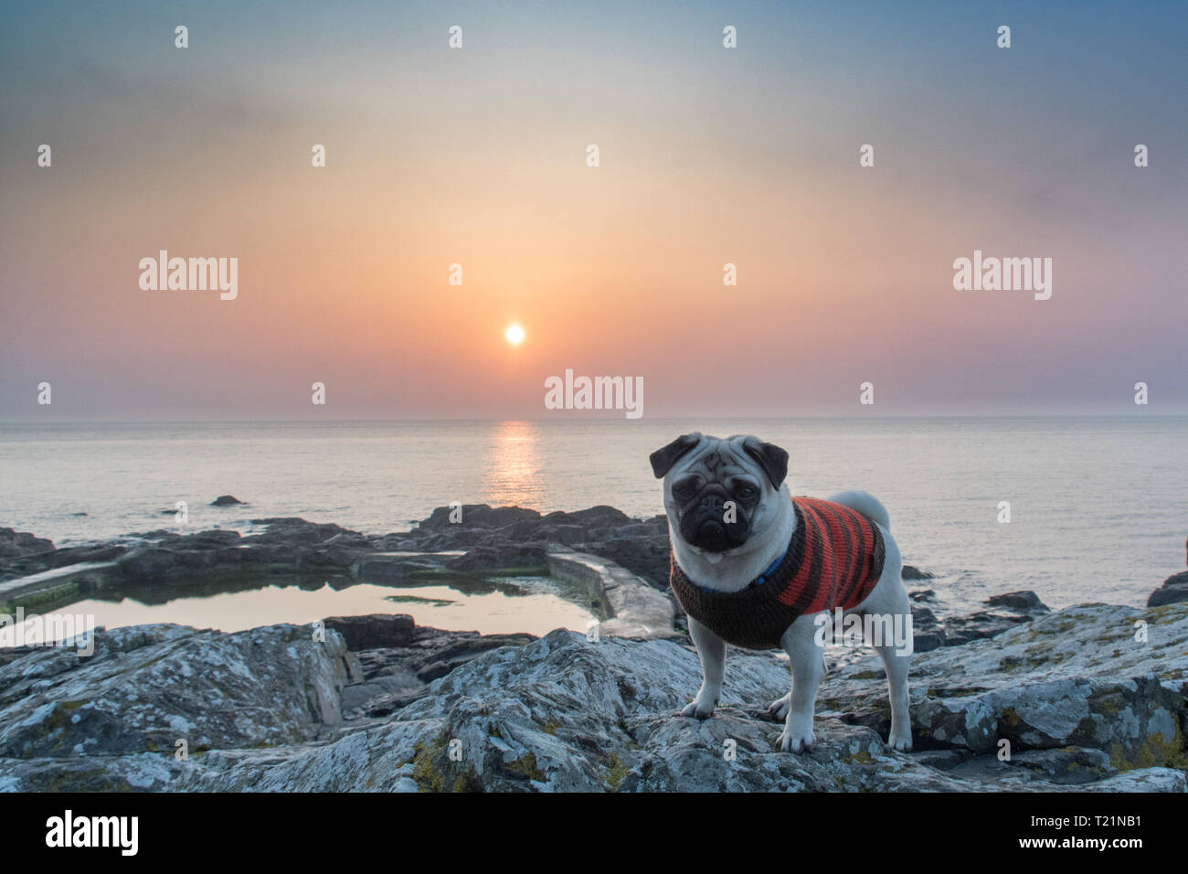 Mousehole, Cornwall, UK. 30th Mar, 2019. UK Weather. Early morning mist soon lifted at sunrise, with the promise of another fine day ahead for south west Cornwall. Titan the pug out on the rocky beach for his morning walk. Credit: Simon Maycock/Alamy Live News Stock Photo
