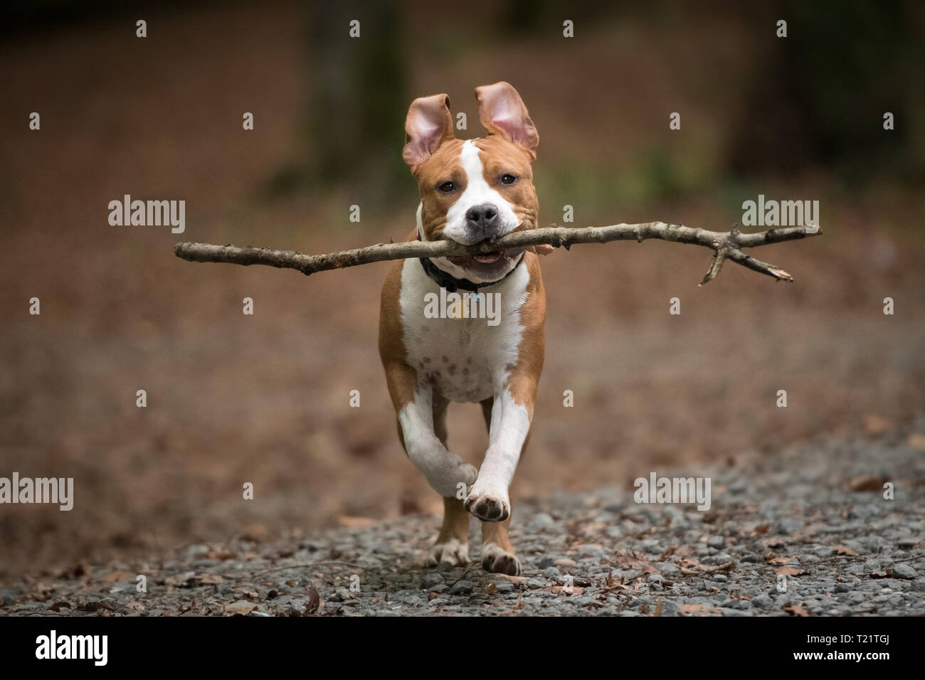 American Staffordshire Terrier puppy playing in forest. - Stock Image