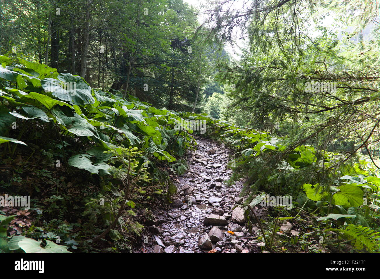 Hiking trail in green summer forest with sunshine, after rain in germany - Stock Image