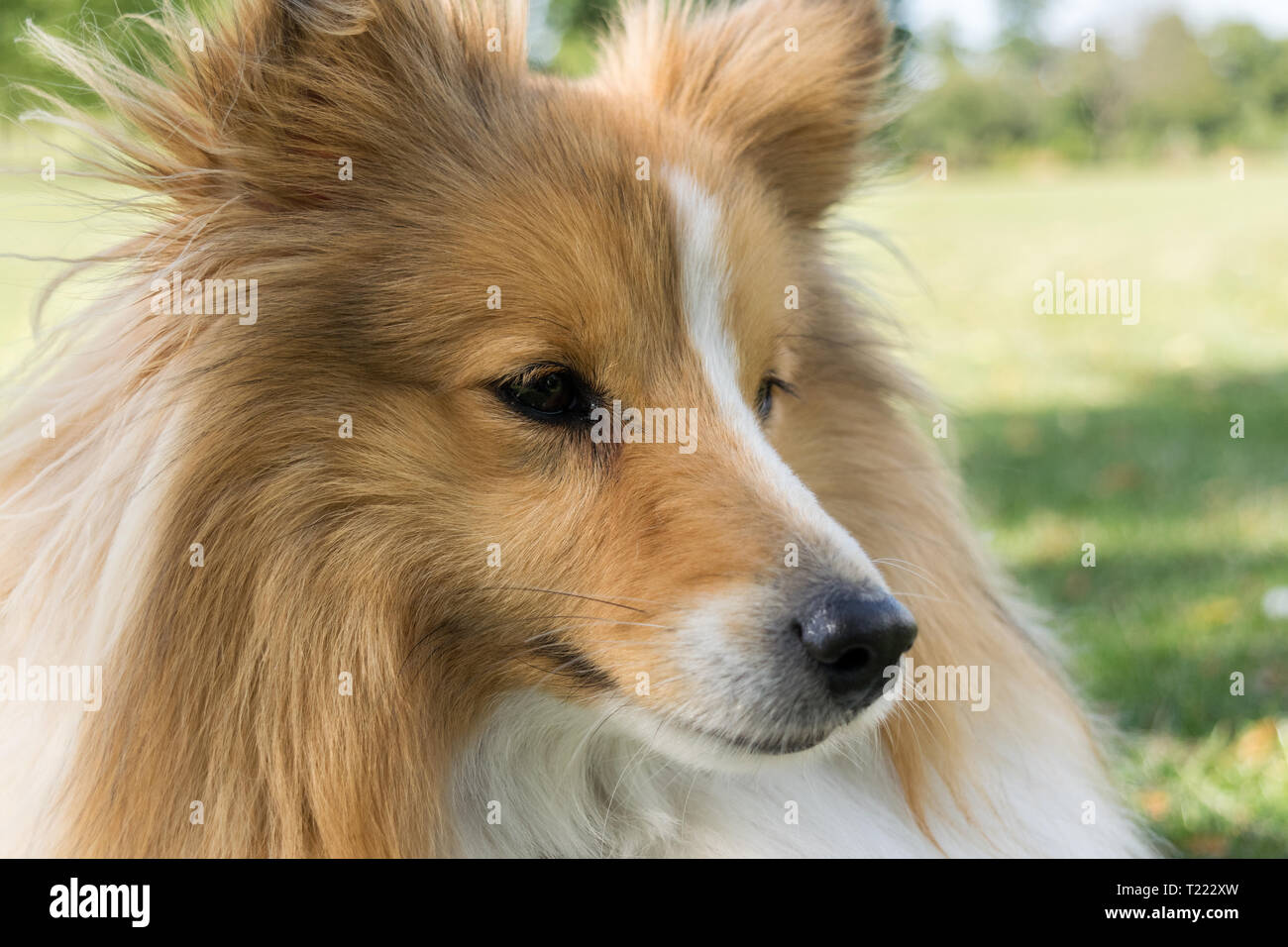 Sheltie portrait looking to the right of frame - Stock Image