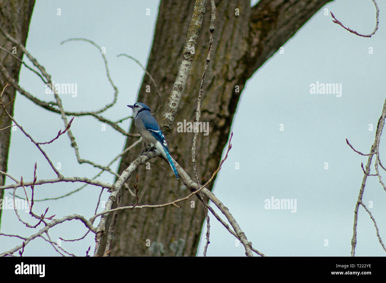 A Blue Jay (Cyanocitta cristata) sitting a tree in winter. shot in Southern Ontario. Stock Photo