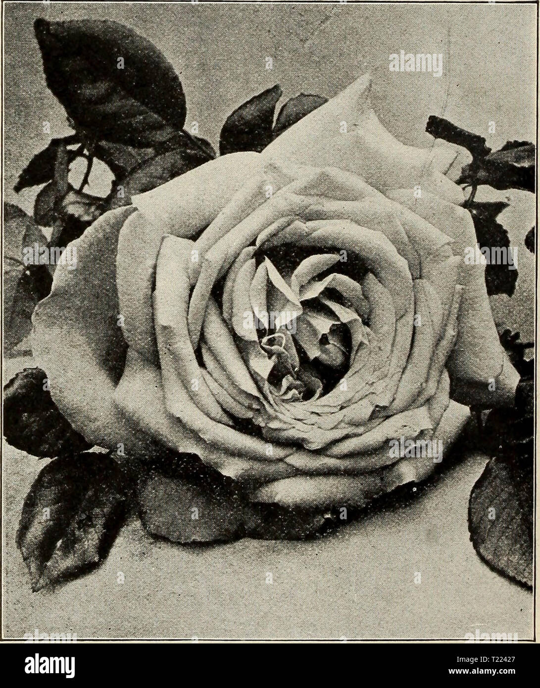 Archive image from page 49 of Dingee guide to rose culture Dingee guide to rose culture : for more than 60 years an authority 1918  dingeeguidetoros19ding_10 Year: 1918  This new Rose is an extremely strong growing variety, producing heavy stems, with large, healthy foliage and flowers almost the equal and style of Helen Gould, but more double; deep rose, with silvery rose center. A bright clear garden Rose, and a prolific bloomer, especially good for outdoor cultivation. Delightfully fragrant. MADAME JOSEPH SCHWARTZ—Flowers pure white, tinged and shaded with pure yellow and rosy blush; very f - Stock Image