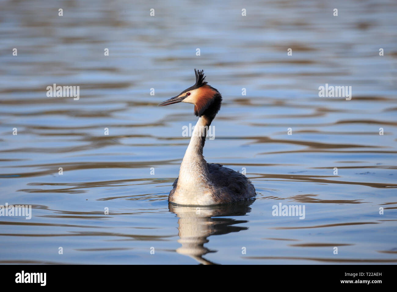 The great crested grebe is a member of the grebe family of water birds noted for its elaborate mating display. Stock Photo