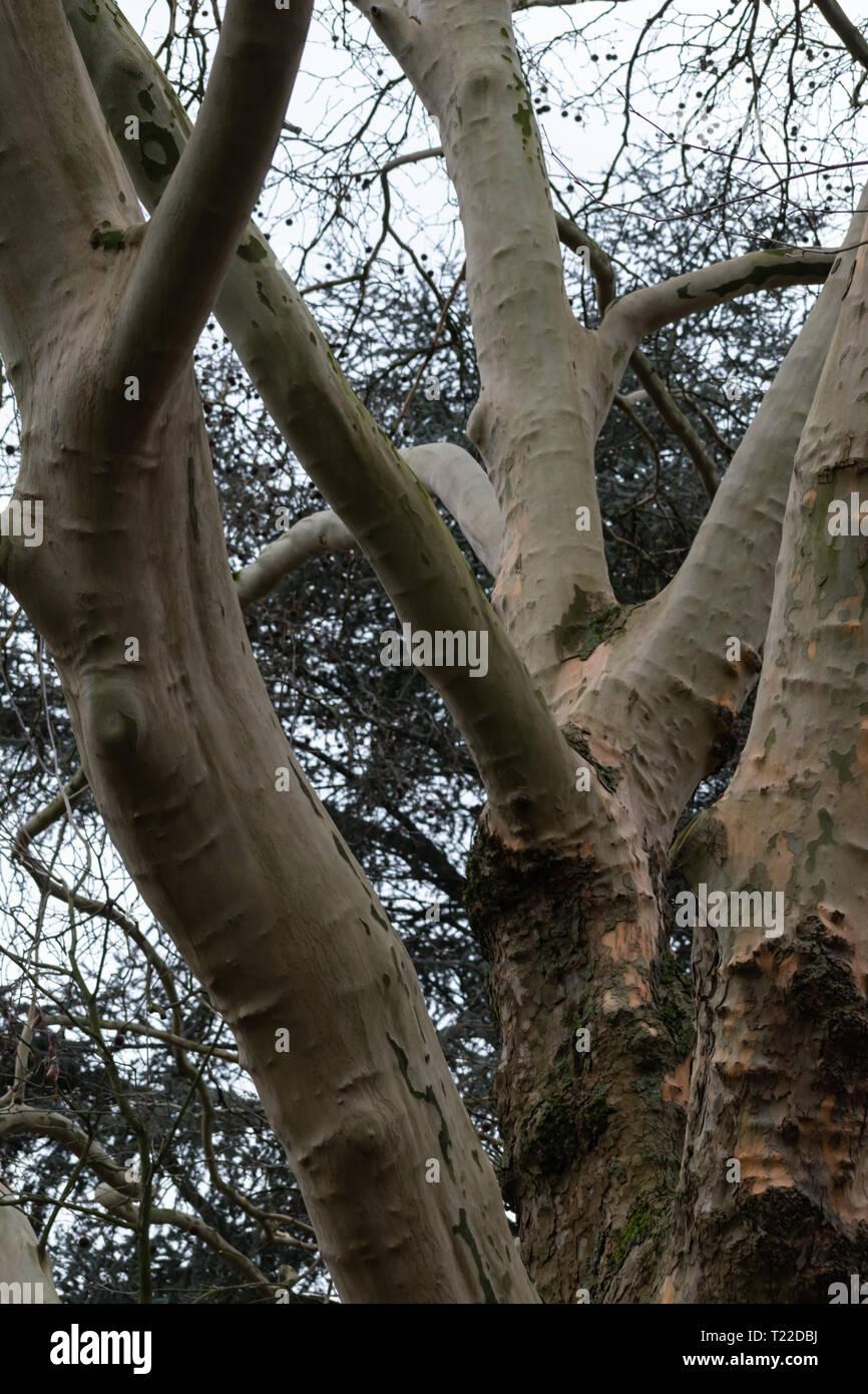 Park tree with no bark. Smooth and clear, flaky bark. Overcast skys - Stock Image