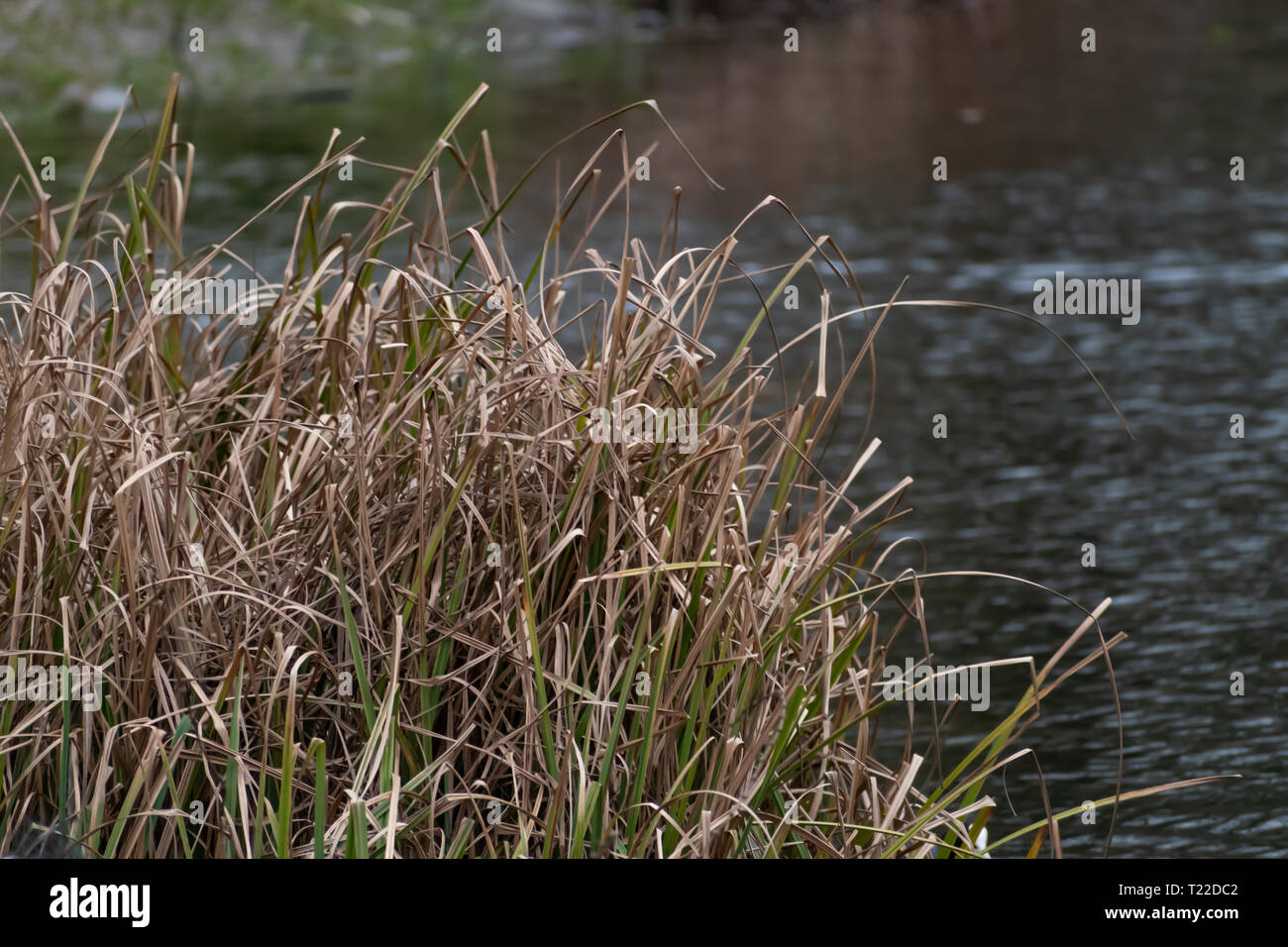 Wild grass growing next to pond in the park. Soft background water shot. Nature in the city. - Stock Image