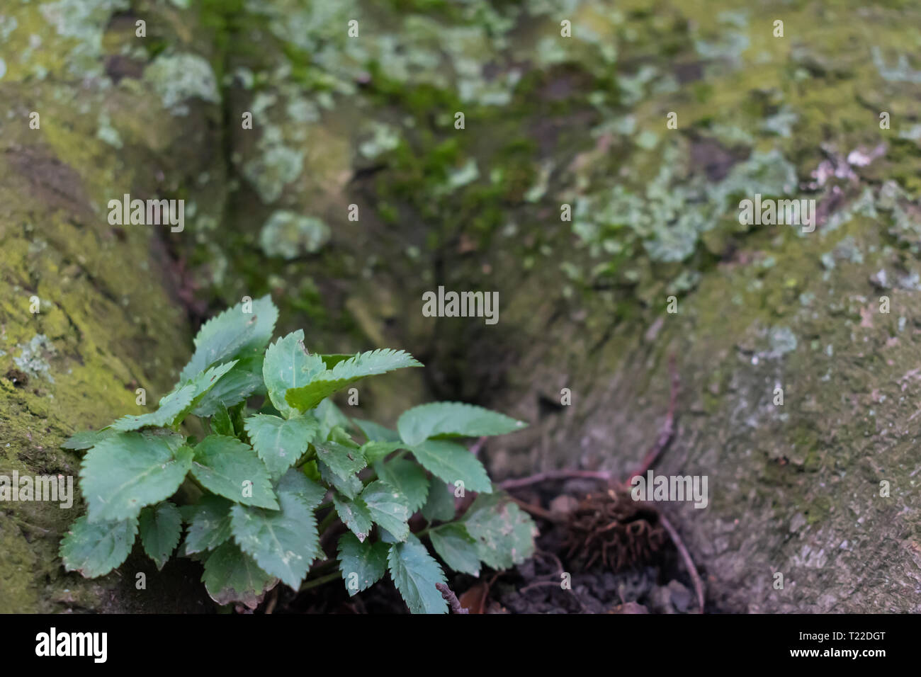 Small plant against giant tree. Close-up of new spring growth - Stock Image
