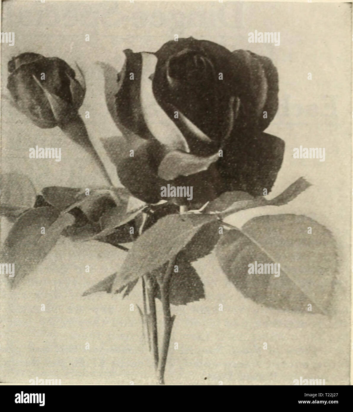 archive image from page 16 of dingee guide to rose culture dingee guide to rose culture for more than 60 years an authority dingeeguidetoros19ding 6 year 1915 mary countess of ilchester francis scott key mary countess of ilchester a strong vigorous hybrid tea color warm crimson carmine a color almost indescribable flowers produced on long upright stems of im mense size with large smooth circular petals the foliage is attractive and handsome a deep green very highly scented strong young plants on their own roots 25c each two year old plants 60c each natalia bottner ne T22J27
