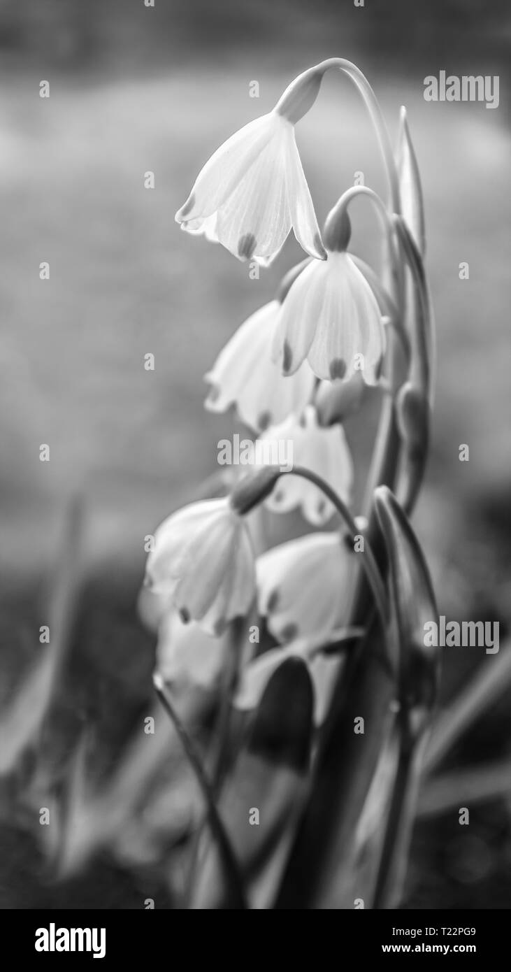 Beautiful delicate snowdrop flowers with their stems curved so that the petals hang like bells in a garden. In monochrome - Stock Image