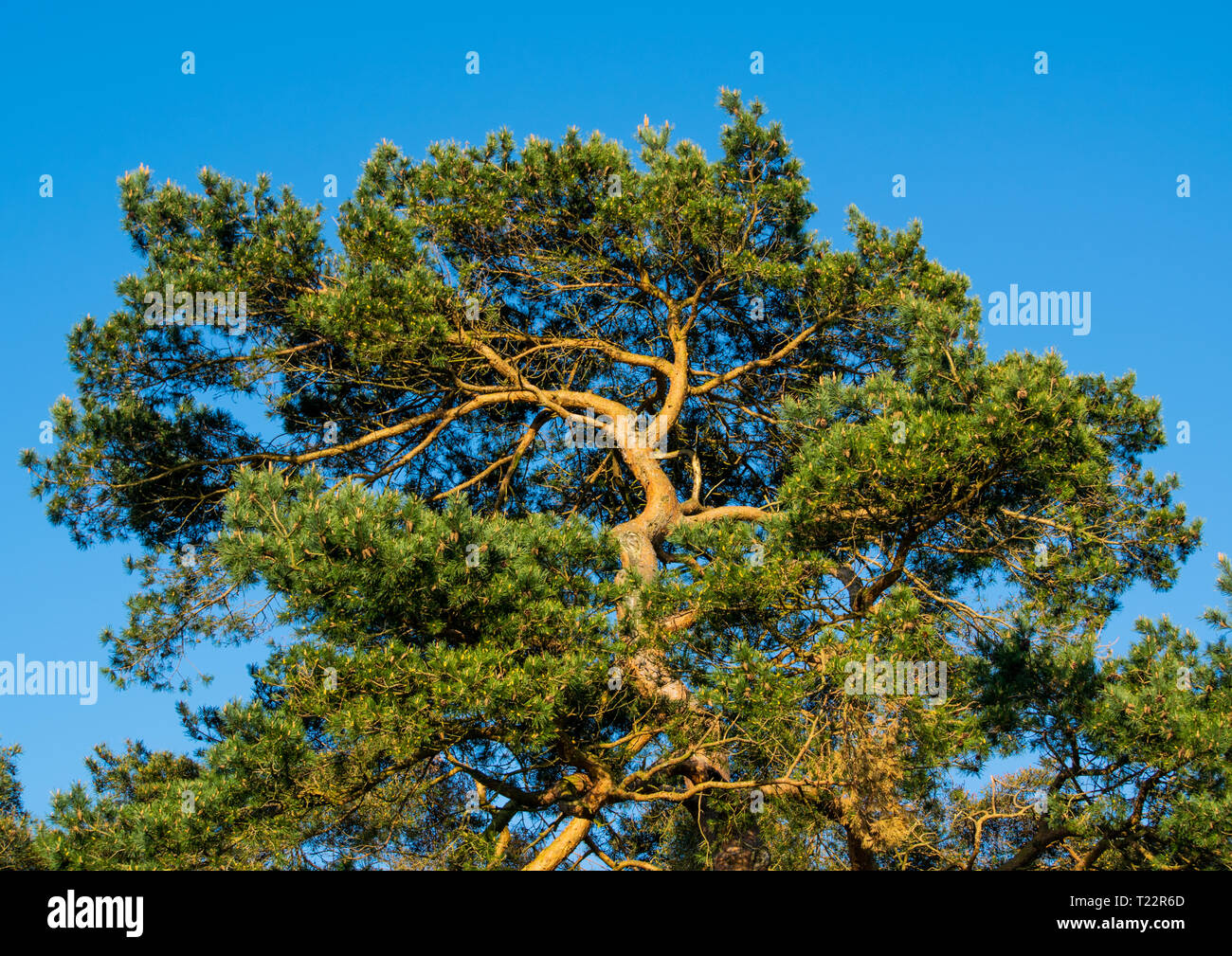 Large old Pine tree in Sussex against a cloudless sky. - Stock Image