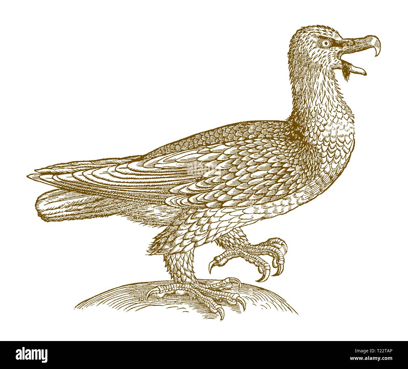 Bearded vulture (gypaetus barbatus) in side view. Illustration after a historic woodcut from the 16th century - Stock Image