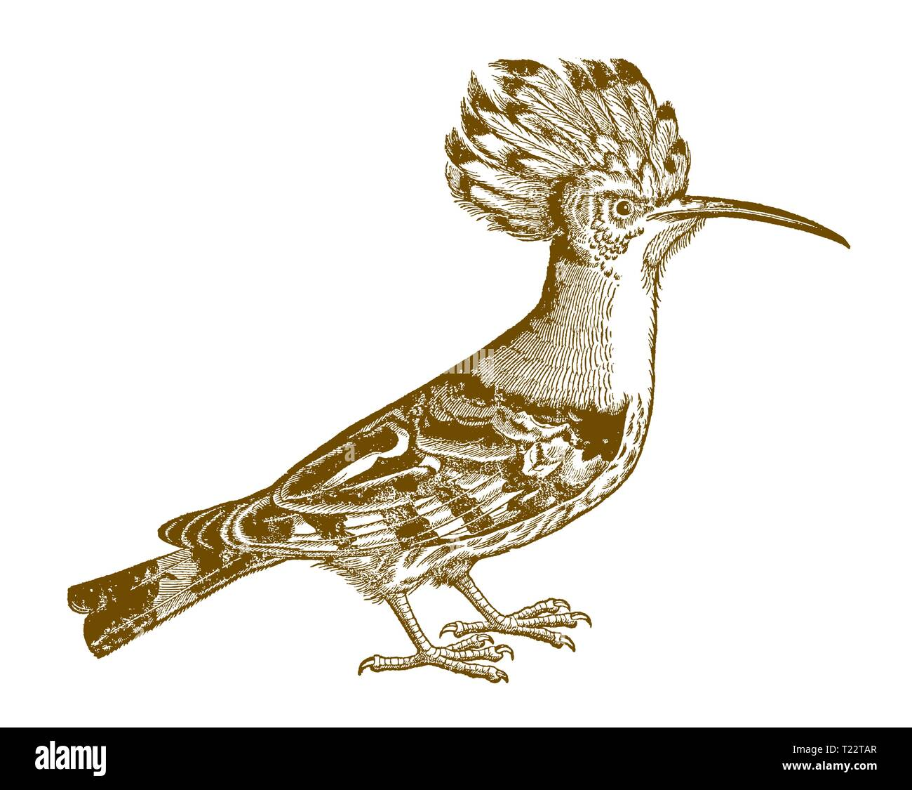 Eurasian hoopoe (upupa epops) in side view. Illustration after a historic woodcut from the 16th century - Stock Image