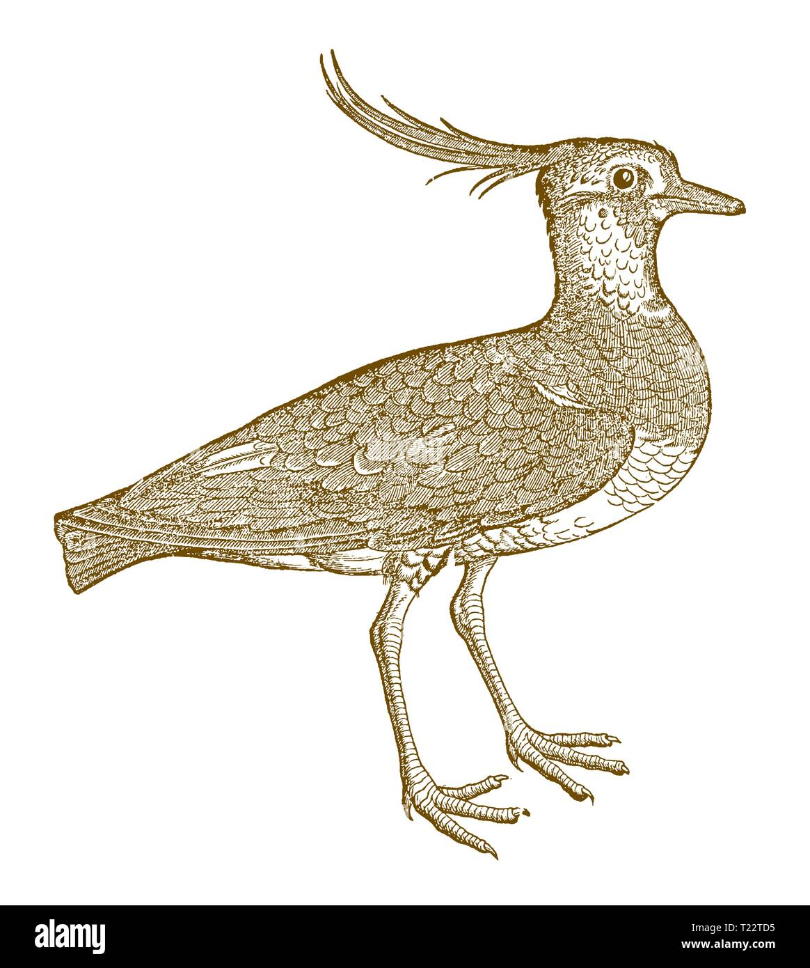 Northern lapwing (vanellus) with a funny crest. Illustration after a historic woodcut from the 16th century - Stock Image