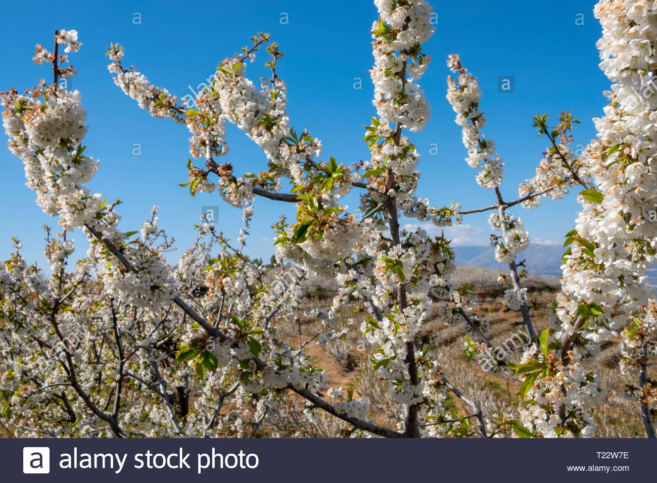 Isolated Cherry Flowers Blossom, Under Blue sky, Fundao, Portugal - Stock Image