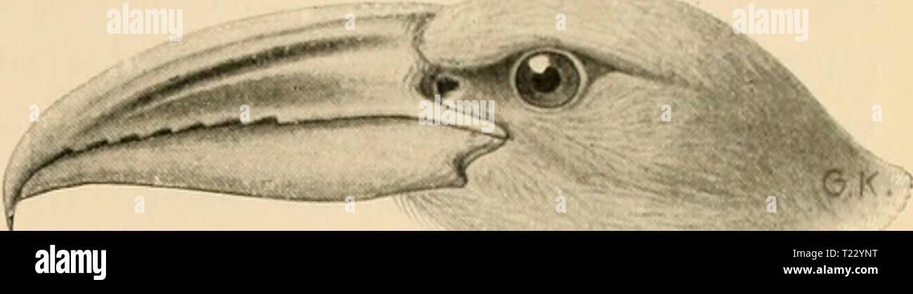 Archive image from page 38 of Die Vögel; Handbuch der systematischen Die Vögel; Handbuch der systematischen Ornithologie  dievgelhandbuc02reic Year: 1913  Cuculidae. Kuckucke. 25    Fig. 13. S. novaehollandiae Lath. (Fi.u,'. lo). Kopf und Nacken ii;rau, Rücken und Flügel olivenbraun mit schwarzbraunen Federspitzen, Unterseite grauweiss, Schwanzfedern oliven- braun mit schwarzer Binde vor der weissen Spitze, am Innensaum schwarz und weiss gebändert. L. GOO, Fl. 350 mm. Australien, Neuguinea, Bismarckinseln, Moluk- ken, Celebes. Seine Eier, die auf weissem Grunde gefleckt sind, soll er in die Ne - Stock Image