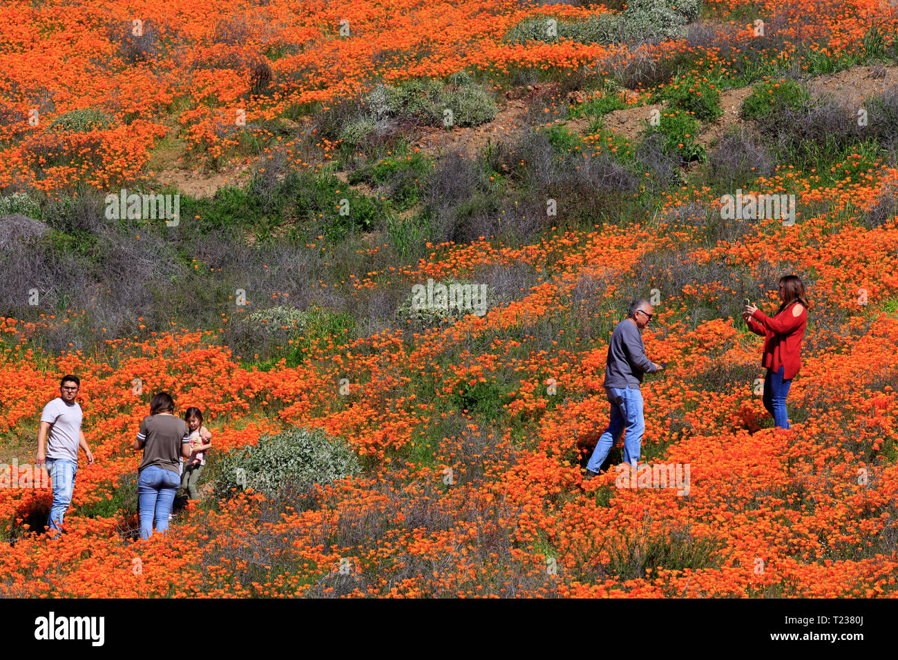 Poppy flowers, Walker Canyon Conservation Area, Lake Elsinore, Riverside County, California,USA - Stock Image