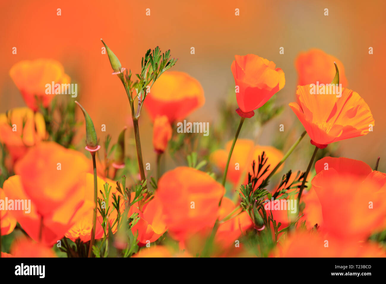 Poppy flowers, Walker Canyon Conservation Area, Lake Elsinore, Riverside County, California, USA - Stock Image