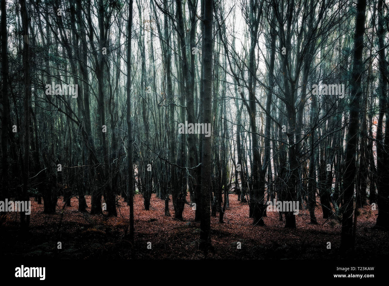trees in a dark forest - Stock Image