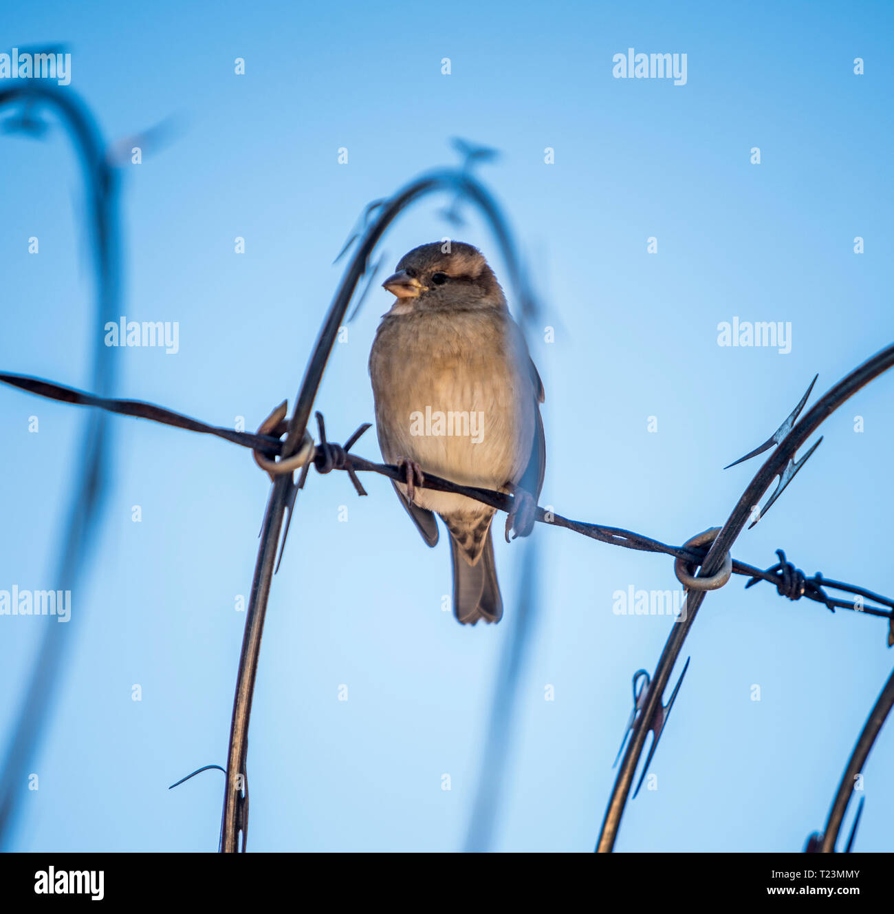 Sparrow bird on barbed wire - Stock Image