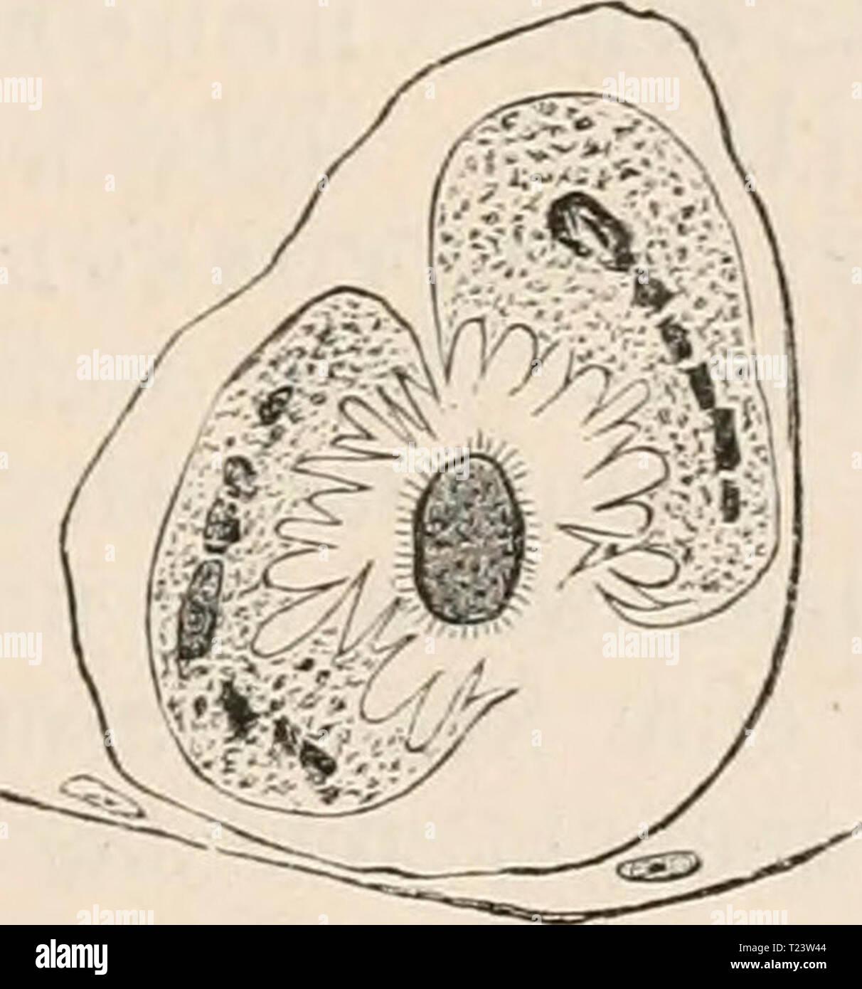 Archive image from page 280 of Die Zelle und die Gewebe Die Zelle und die Gewebe. Grundzüge der Allgemeinen Anatomie und Physiologie  diezelleunddiege02hert Year: 1893-1898 Stock Photo