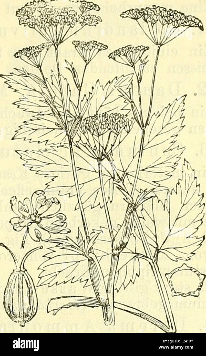 10 Samen Bibernelle,Pimpinella saxifraga#461