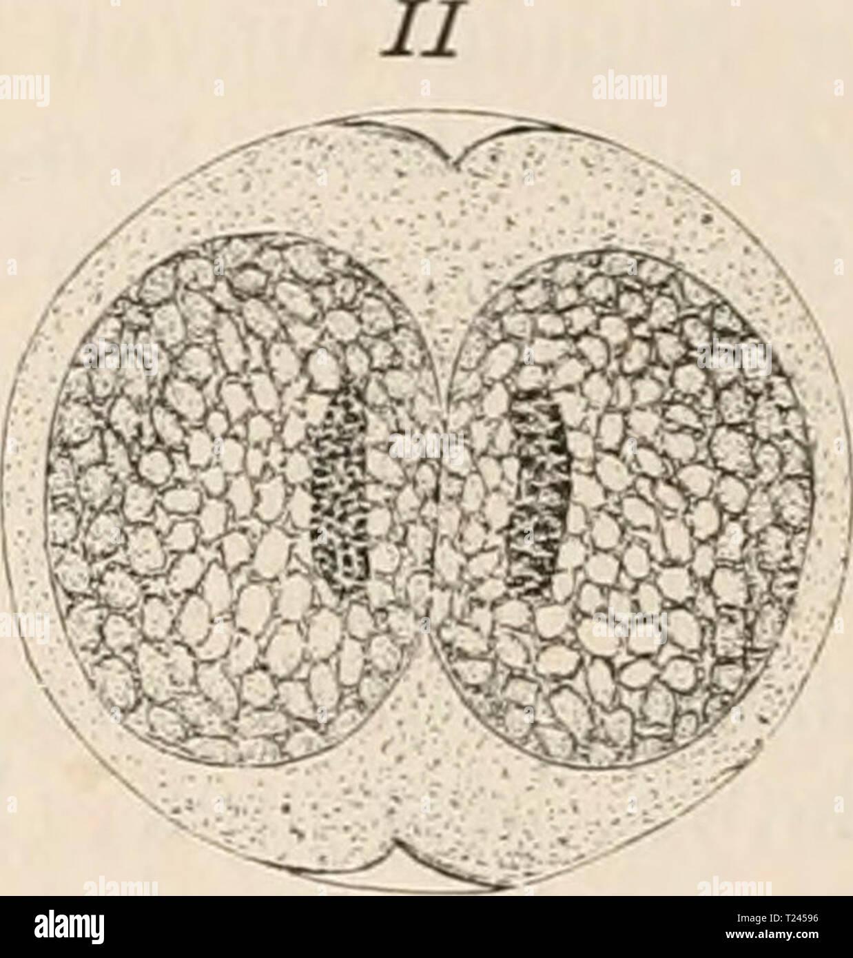 Archive image from page 241 of Die Zelle und die Gewebe Die Zelle und die Gewebe. Grundzüge der Allgemeinen Anatomie und Physiologie  diezelleunddiege02hert Year: 1893-1898 Stock Photo