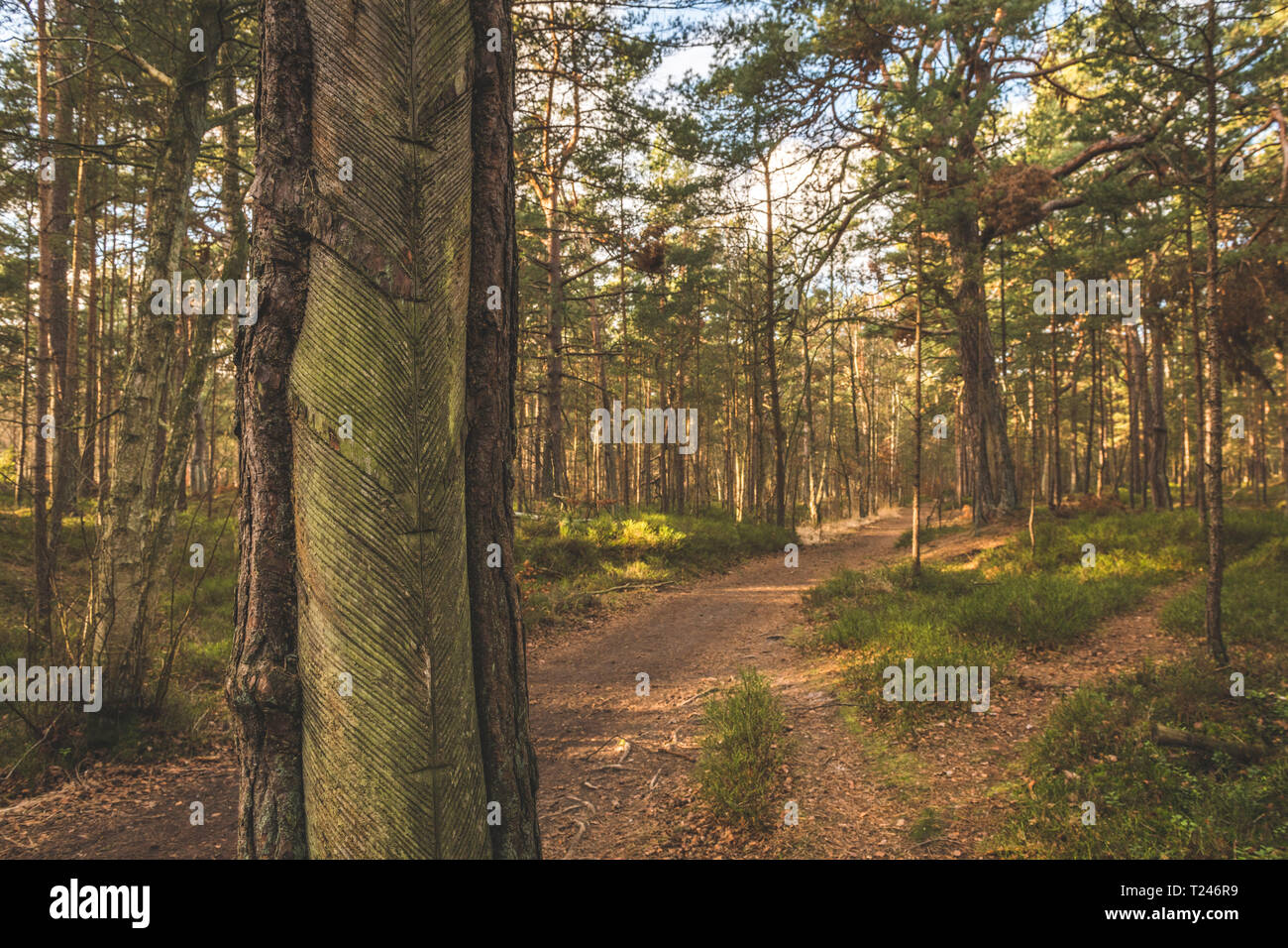 Germany, Mecklenburg-Western Pomerania, Darss, forest path and pine trees with incisions for tapping resin - Stock Image