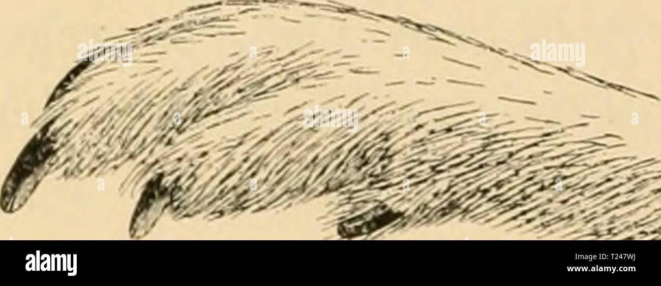 Archive image from page 335 of Die Vögel; Handbuch der systematischen Die Vögel; Handbuch der systematischen Ornithologie  dievgelhandbuc01reic Year: 1913  322 Rasores. Scharrvögel. C. uropliasianus (Bp.) Hellbraun mit sclnvarzer und weisser AVellen-, Flecken- und Strichzeichnung, Kehle schwarz und weiss gefleckt, rein- weisses Kropfhand, Brust weiss mit schwarzbraunen Schaftstrichen, Bauchniitte schwarz. L. 750, Fl. 320 mm. 9 kleiner, Grundfarl)e grauer, Kehle weiss, schwarz getüpfelt, Kropf und Brust wie die Ober- seite gezeichnet. AVestliches Nordamerika. LyruruS Sw., Birkhuhn. Unterscheide - Stock Image