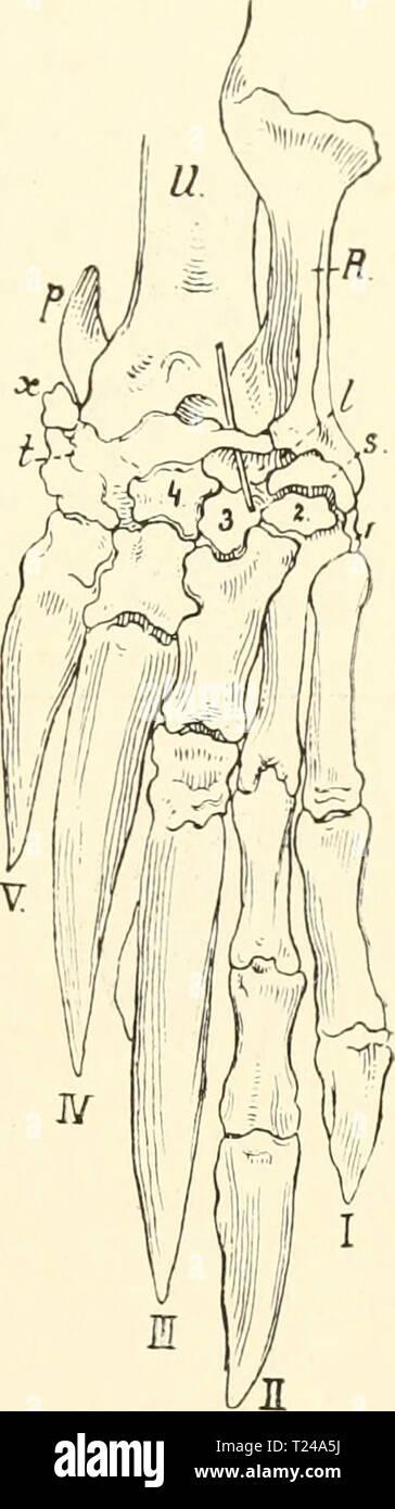 Archive image from page 458 of Die säugetiere Einführung in die Die säugetiere. Einführung in die anatomie und systematik der recenten und fossilen Mammalia  diesugetiereei00webe Year: 1904  Xenarthra, Körperbau. 441 unterscheiden. Bei Tatiisia ist der 1. und 4. Finger gleichlang, aber kürzer als der 2. und o., die fast gleichlang sind. Bei allen übiügen Gürteltieren ist der 1. und 2. P'inger schlank. Beide haben die Tendenz, die in Priodontes ihi- Maximum erreicht, gleichlang zu werden, aber in Dicke ganz zurück- zutreten gegenüber dem 8. und 4. Finger, die außer- ordentlich breite, aber kurz - Stock Image