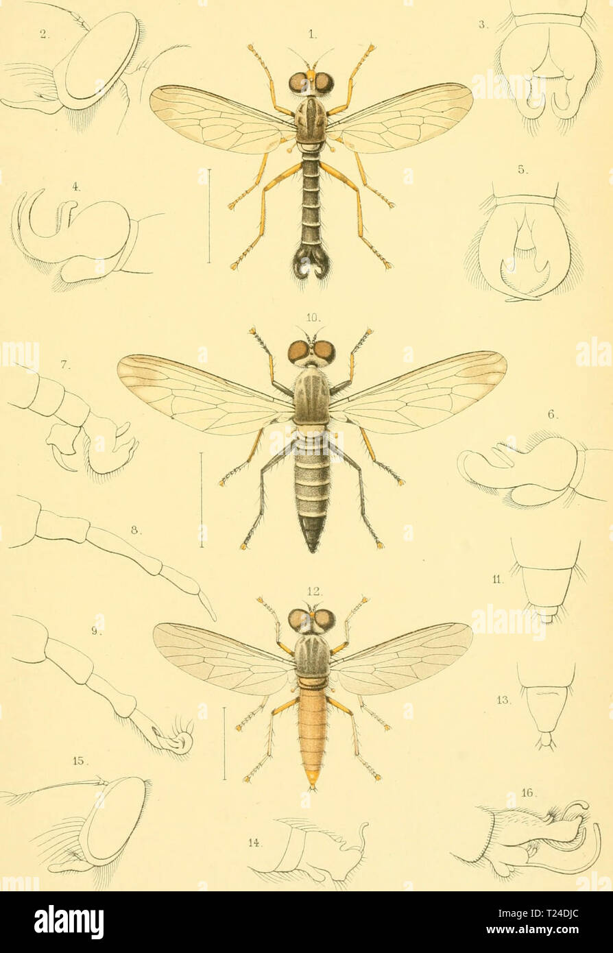 Archive image from page 682 of Diptera (1898) Stock Photo