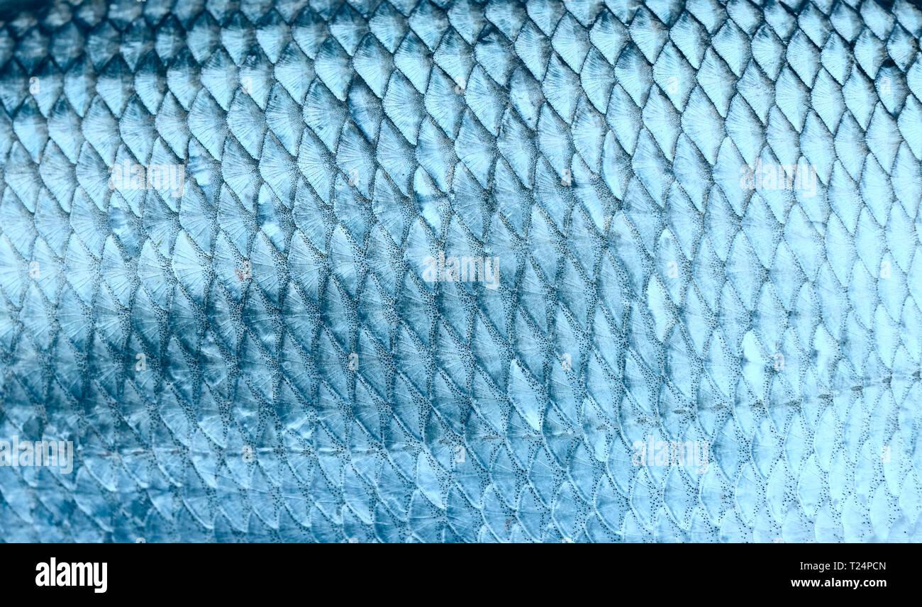 Asp fish scales, natural texture, toned - Stock Image