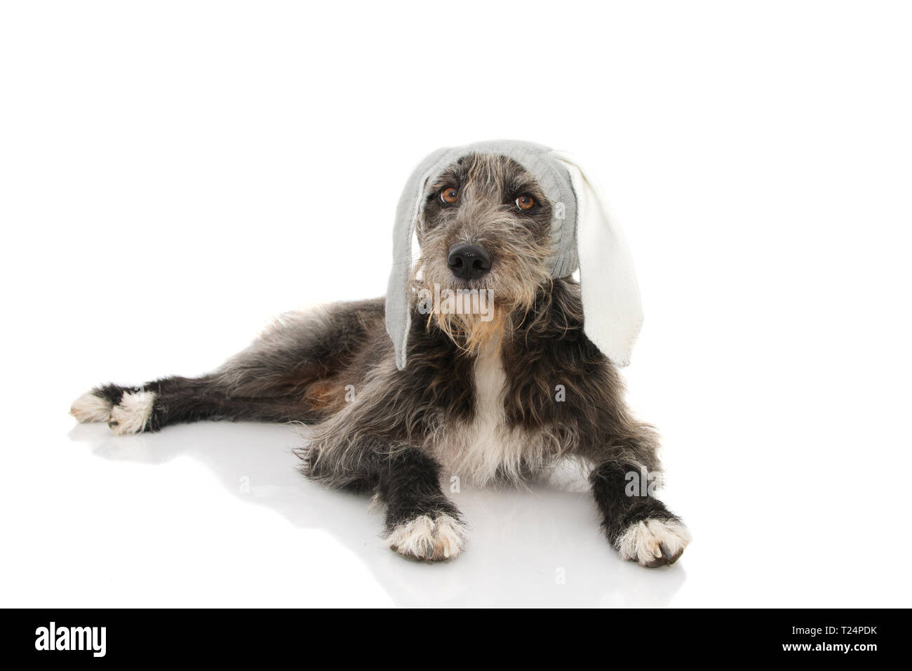 FUNNY EASTER DOG. BLACK PUPPY WEARING RABBIT EARS HAT. ISOLATED STUDIO SHOT AGAINST WHITE BACKGROUND. - Stock Image